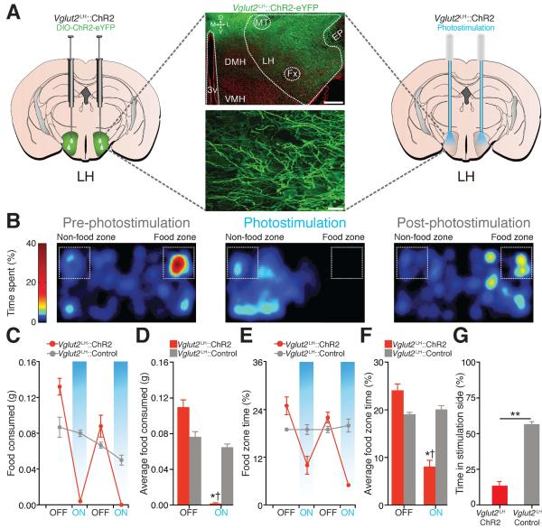 Optogenetic modulation of neurons in the lateral hypothalamus. Jennings et al., 2013.