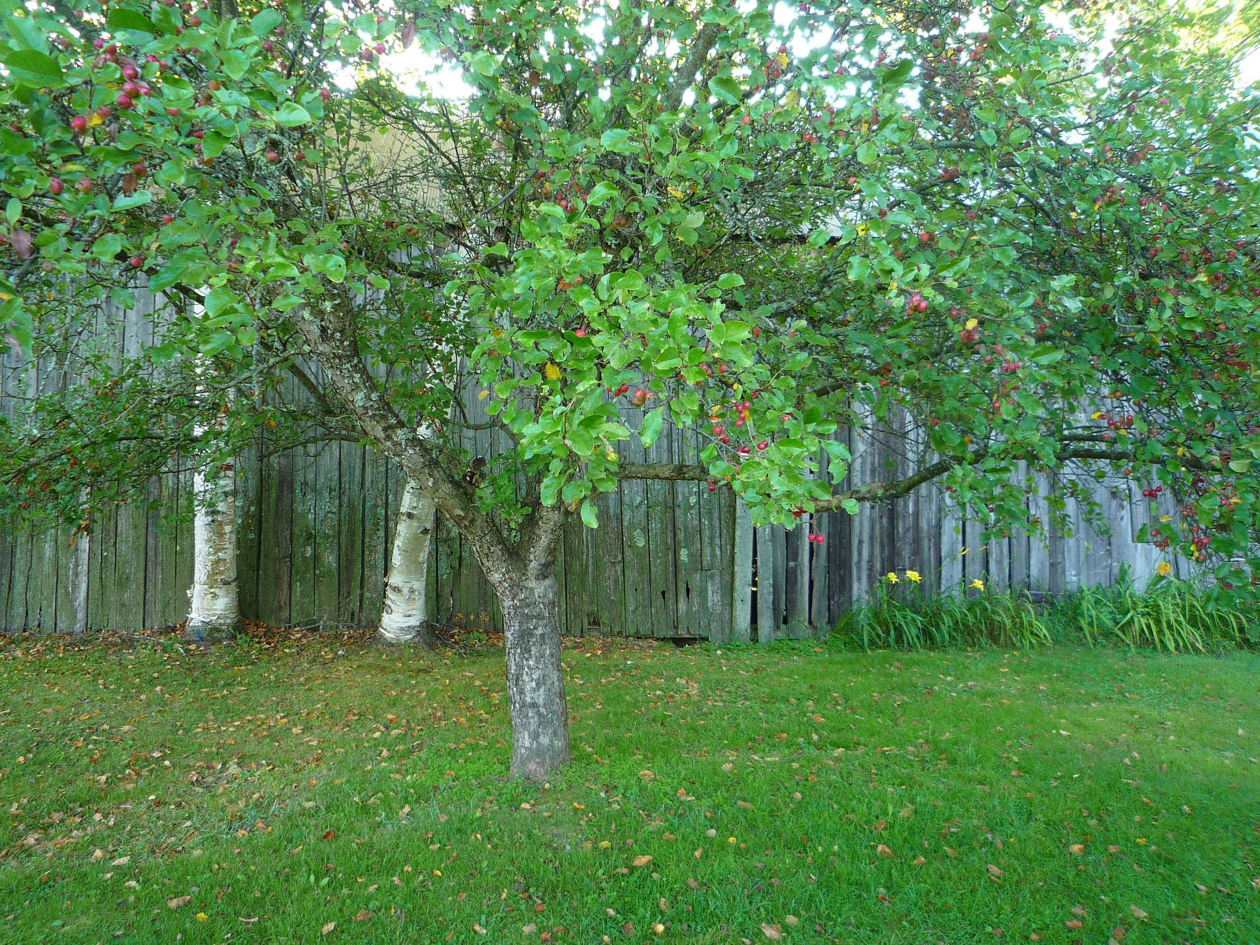 fig. c:  crabapple tree