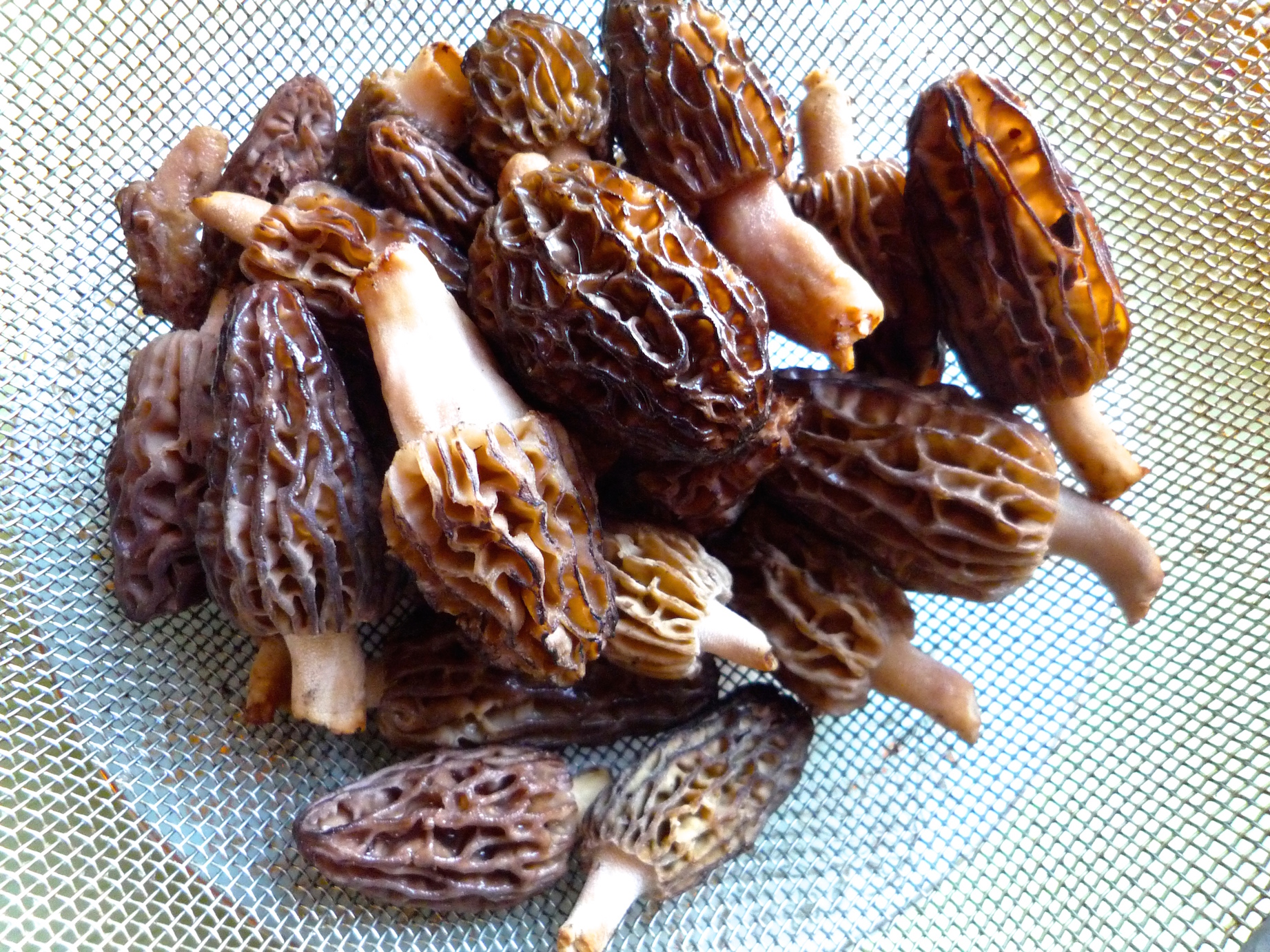 fig. c:  fresh Quebec morels