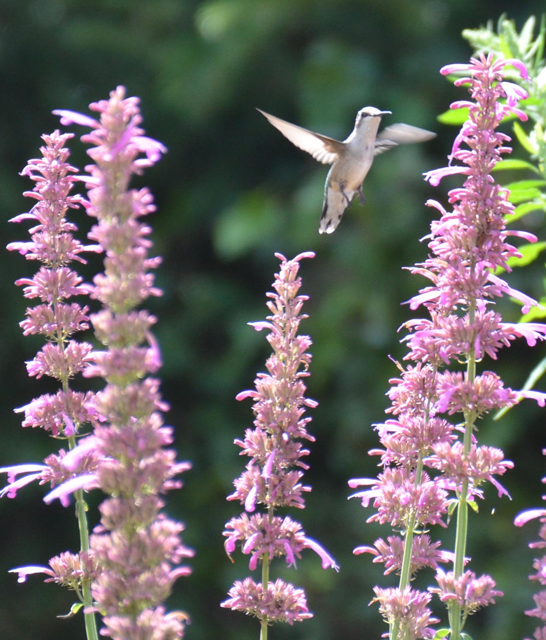 Hummingbird Mint