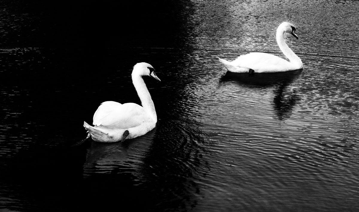 Swansdarkandlight.jpg