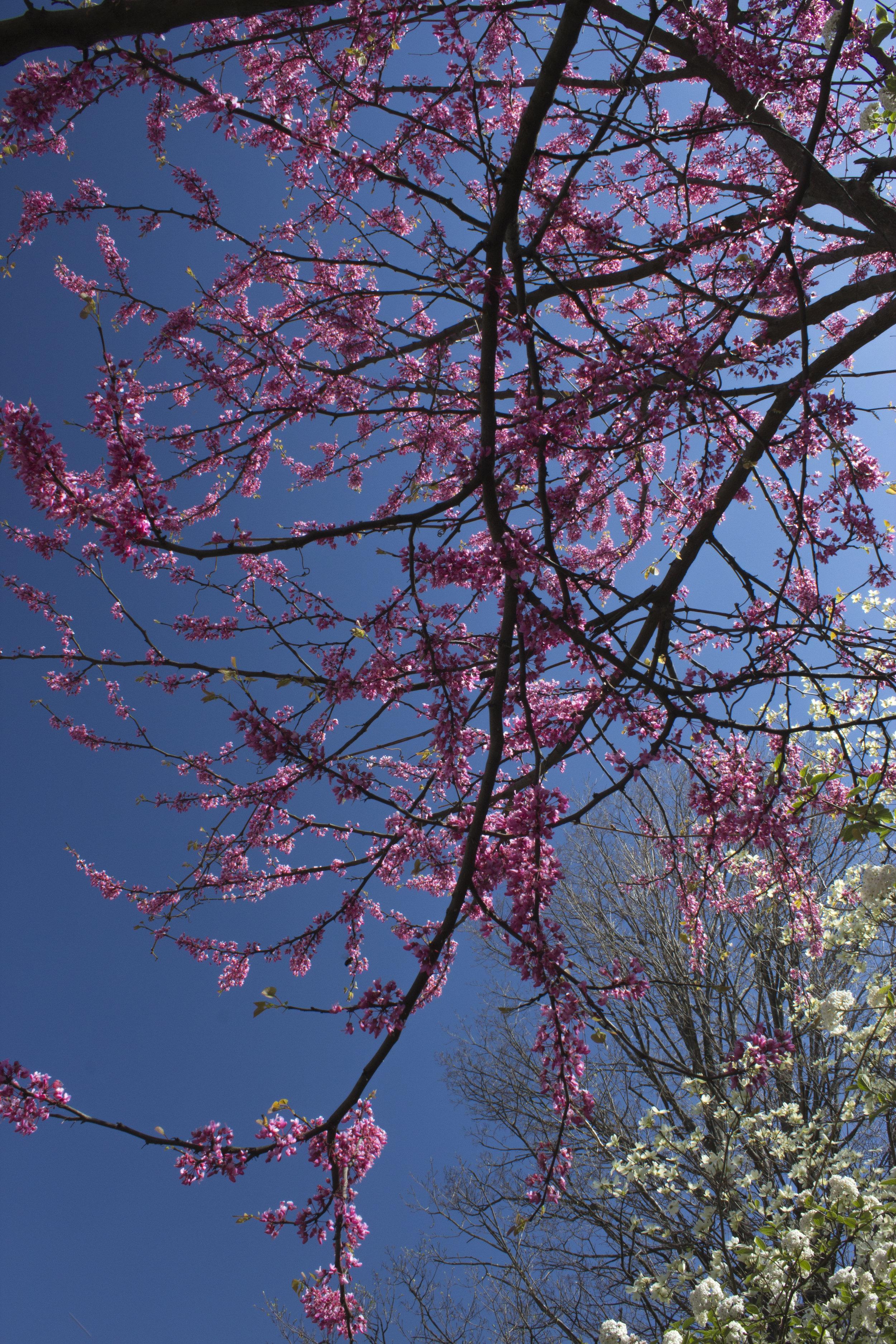 pinkblooms.jpg
