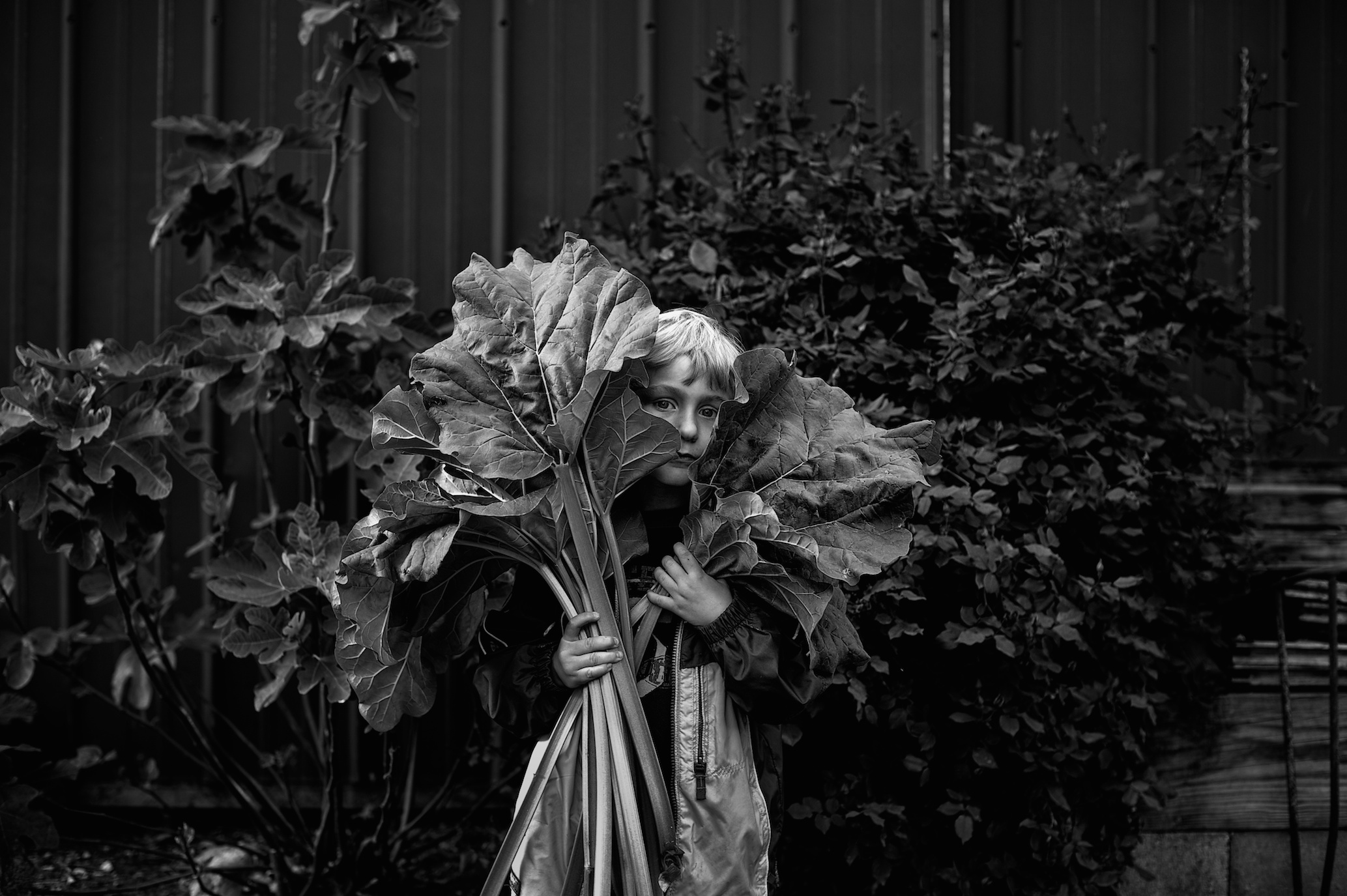 Rhubarb, 2012, Watson, Illinois, My son helping his grandma collect the rhubarb to make a pie. He's standing in front of my dads barn, with my mom's Knock Out Rose and Fig Tree behind him. Boy do him and I eat those figs up!