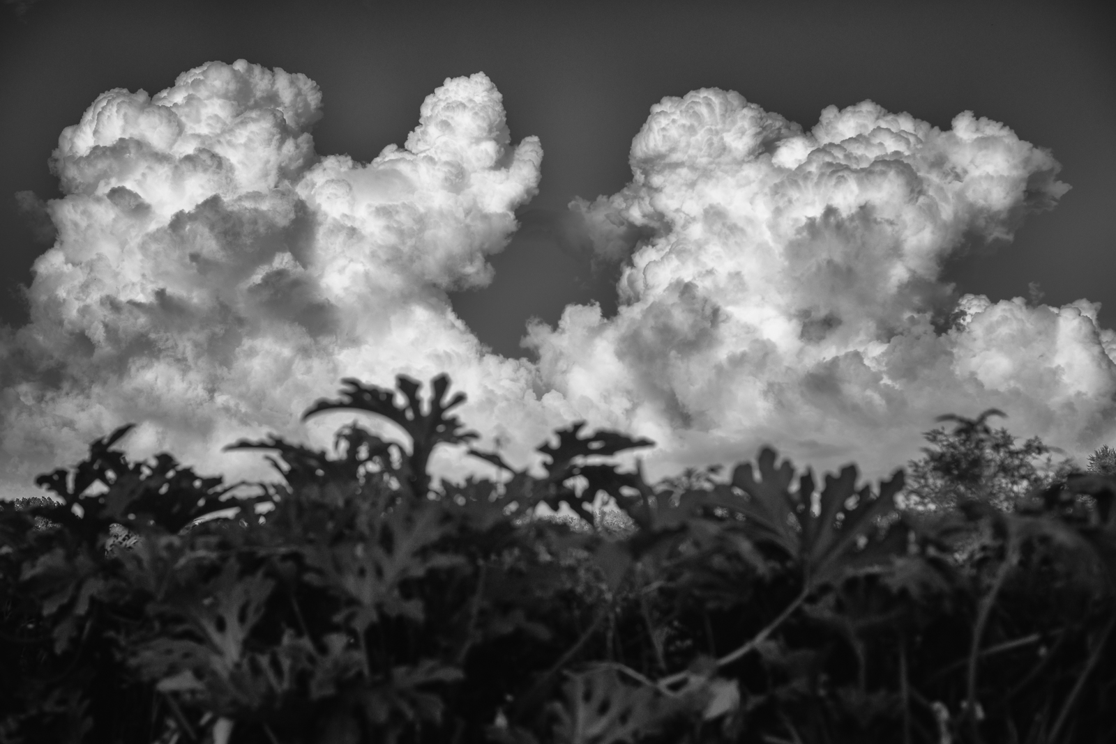 TWIN THUNDERHEADS OVER ZUCCHINI - 2016