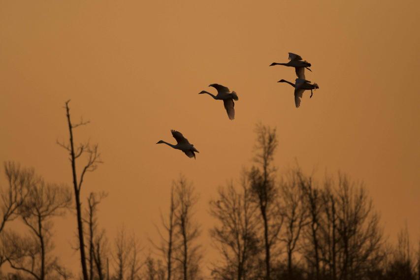 NeilJernigan_tundraswans_birds.jpg