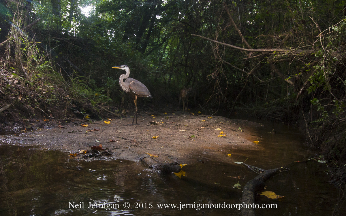 Great Blue Heron with a small whitetail buck in the background