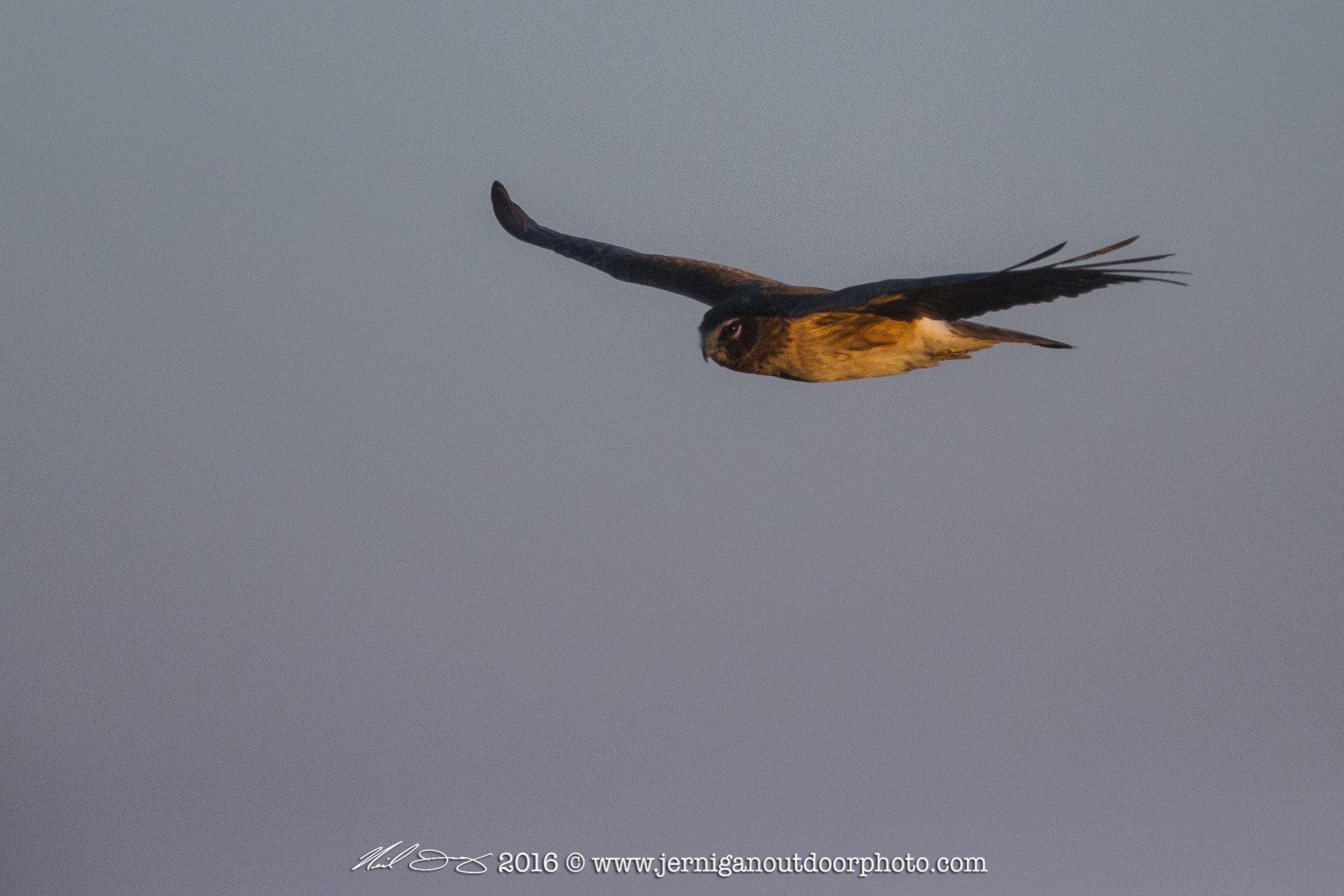 Northern Harrier hunting for small birds and mammals along a canal.