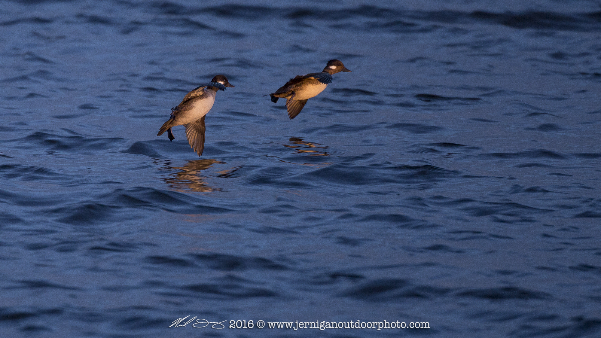 Female Buffelheads landing in early morning light