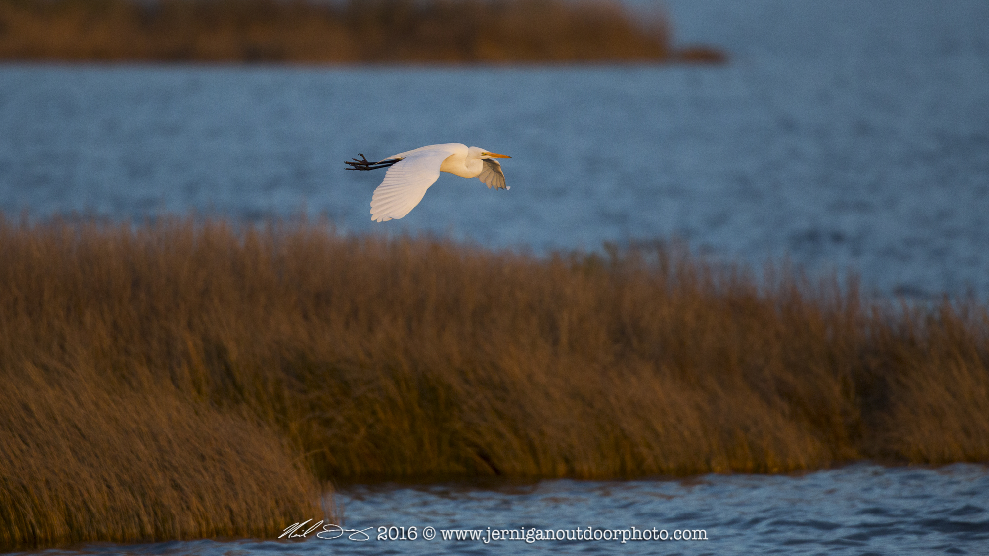 Egret flying in the early morning light
