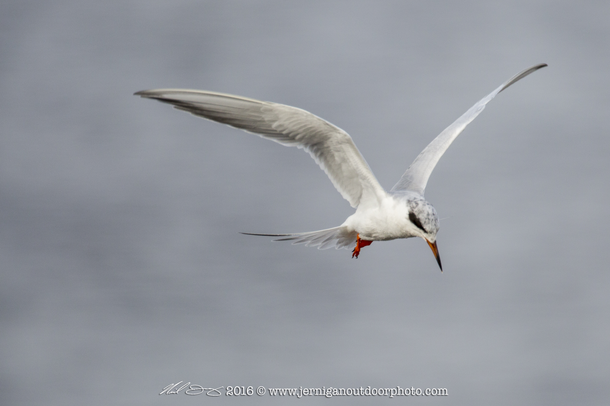 Foster's Tern looking for small fish to feed on