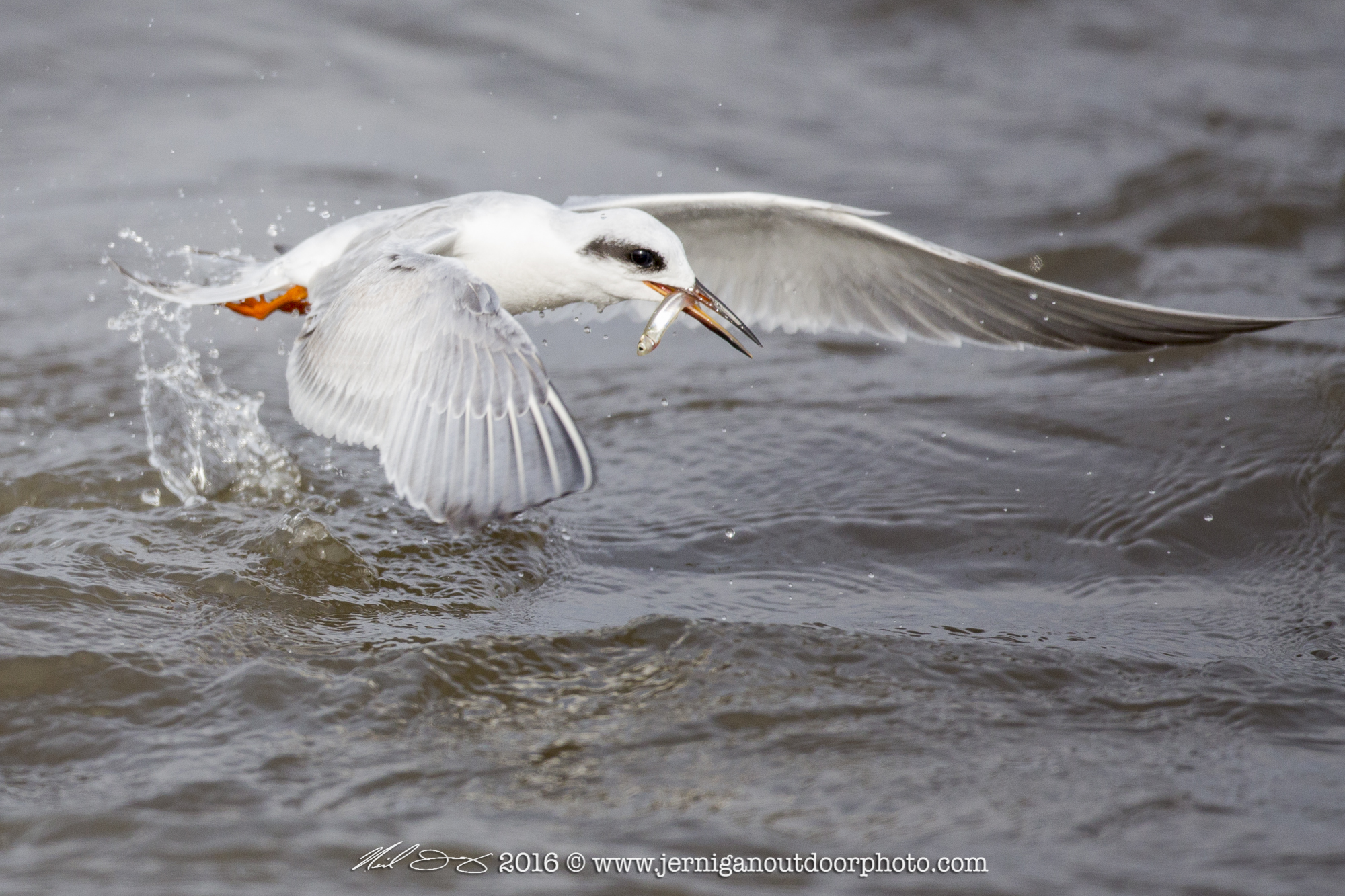 Foster's Tern after catching a small fish