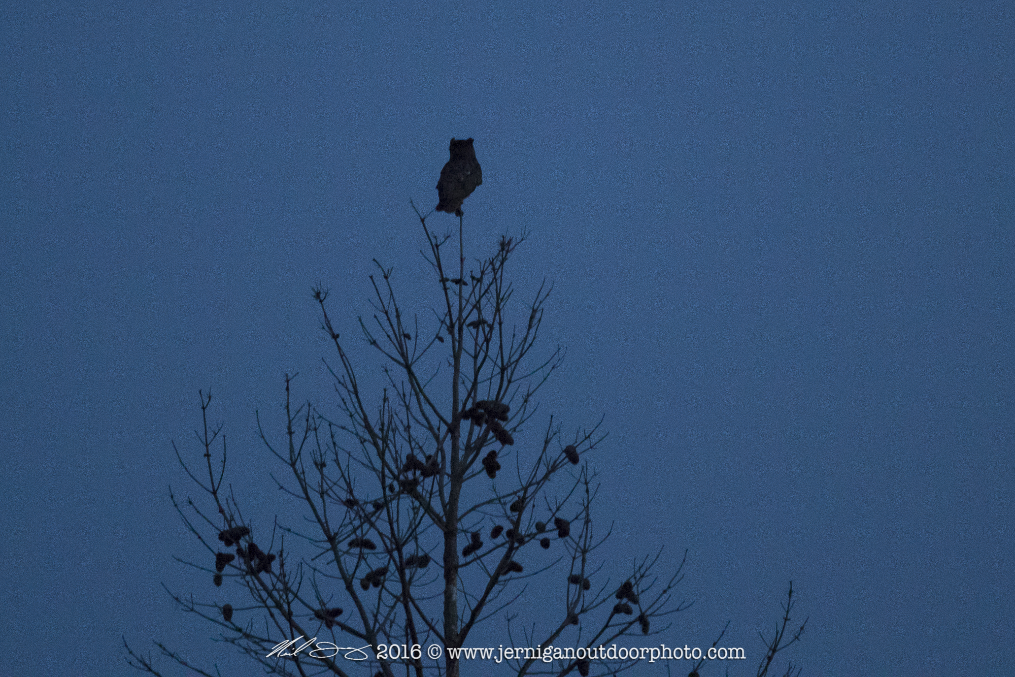 Great Horned Owl in last light