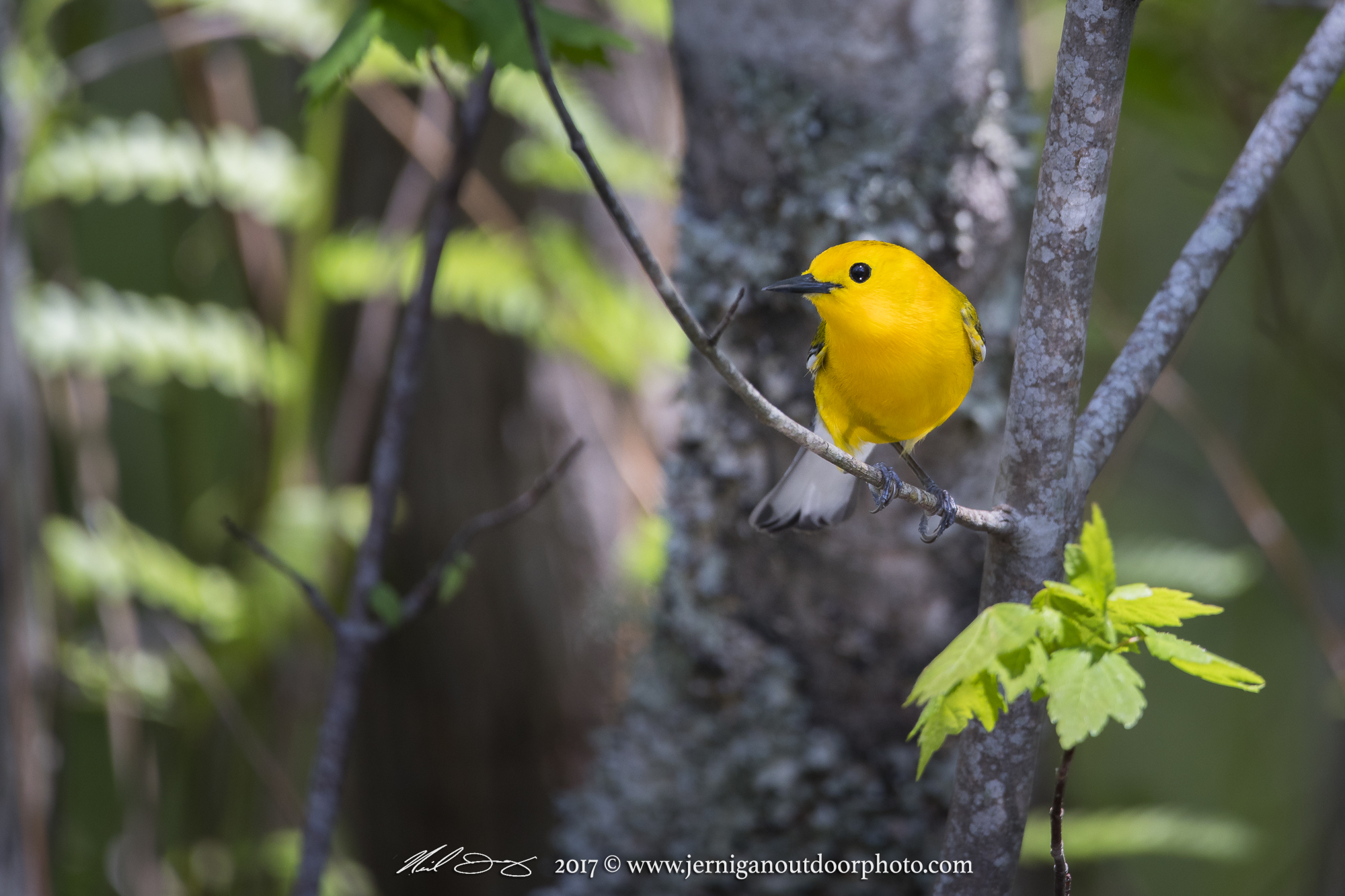 Prothonotary Warblers could be heard all day in the swamps & creeks