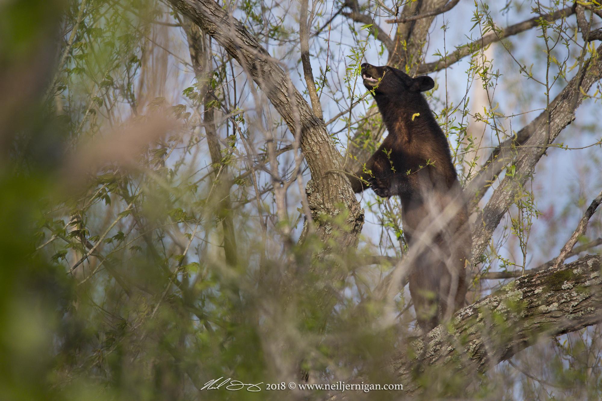 Bear forarging for fresh green leaves.