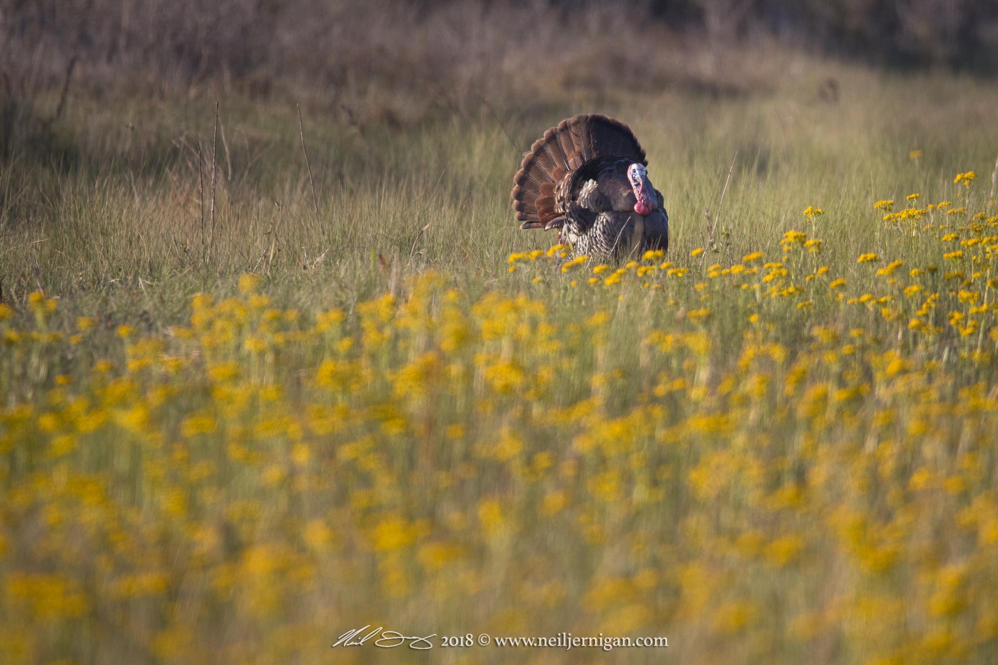 Male turkey strutting