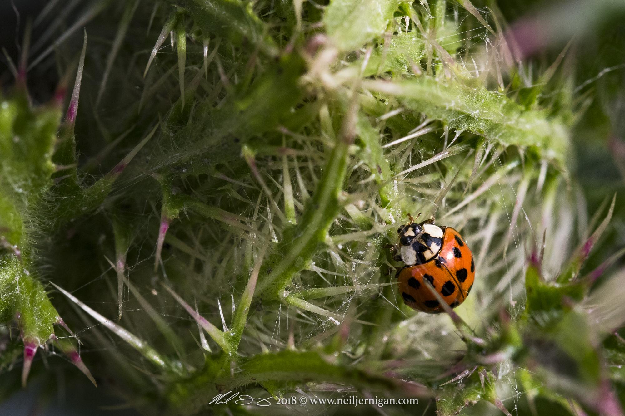 Ladybug on thisil