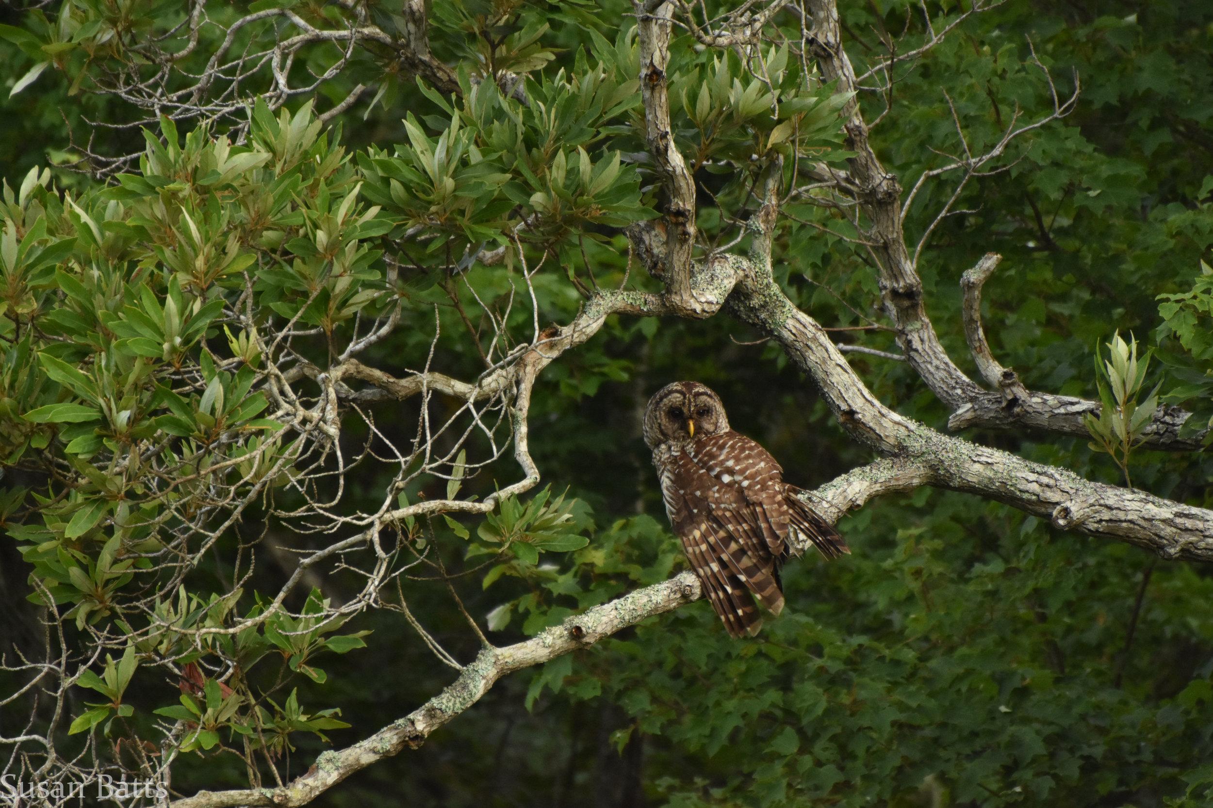 Barred Owl (1 of 1).jpg