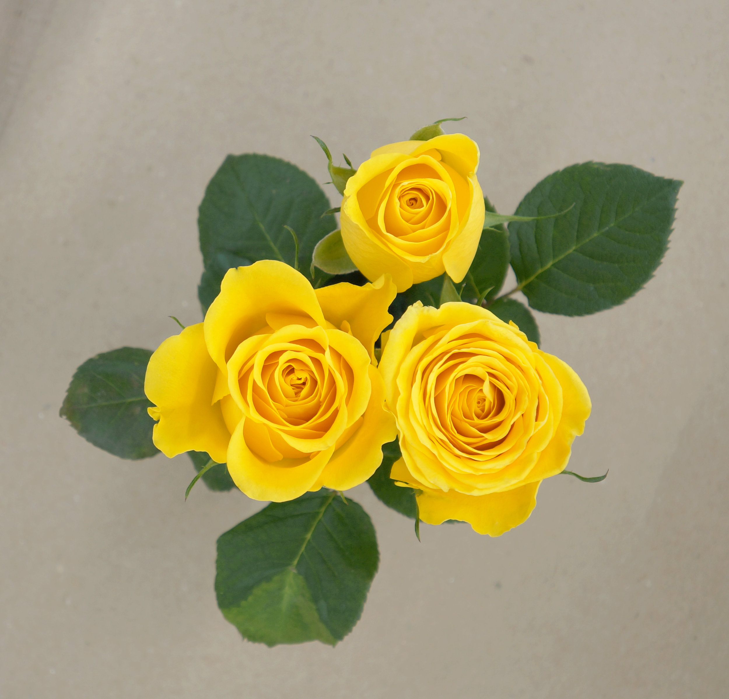 Goldstar - Our brightest yellow