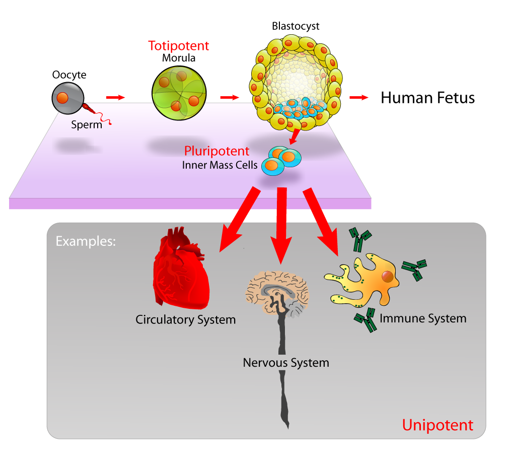 Embryonic stem cells are isolated from the blastocyst, present before foetal development