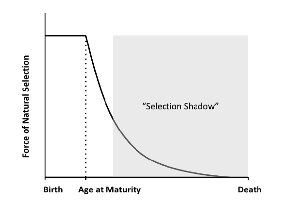 The force of selection as a function of age. Nature Education Fabian and Flatt 2011