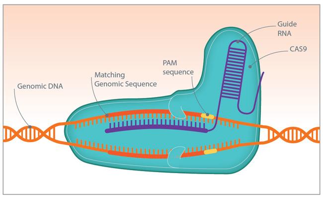 A diagram of the CRISPR-Cas9 complex Credit: Horizon Discovery