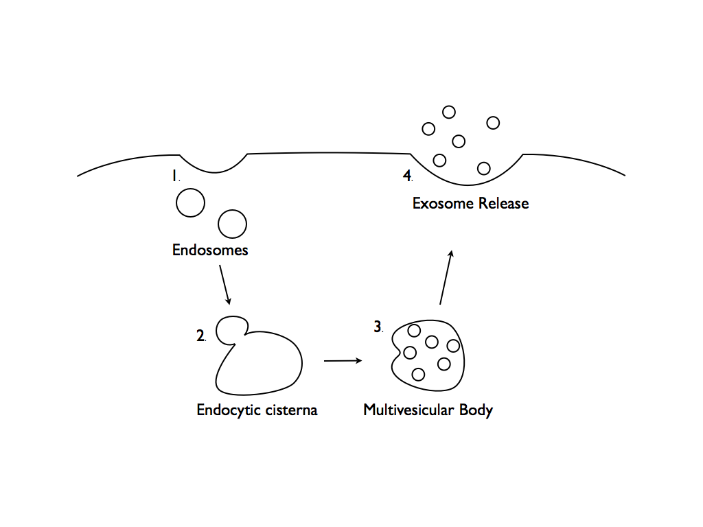 Exosomes are widely distributed throughout the body