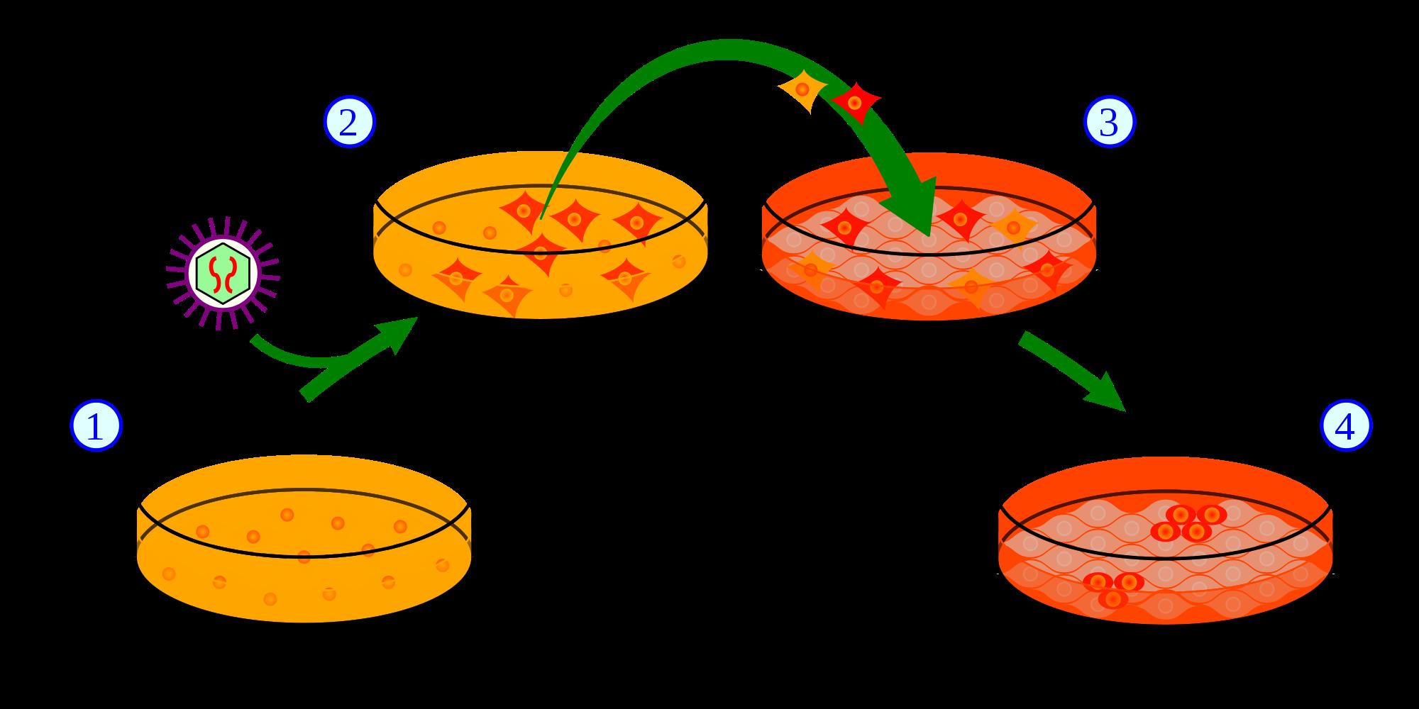 Reprogramming rearranges epigenetic marks and initiates a new genetic program