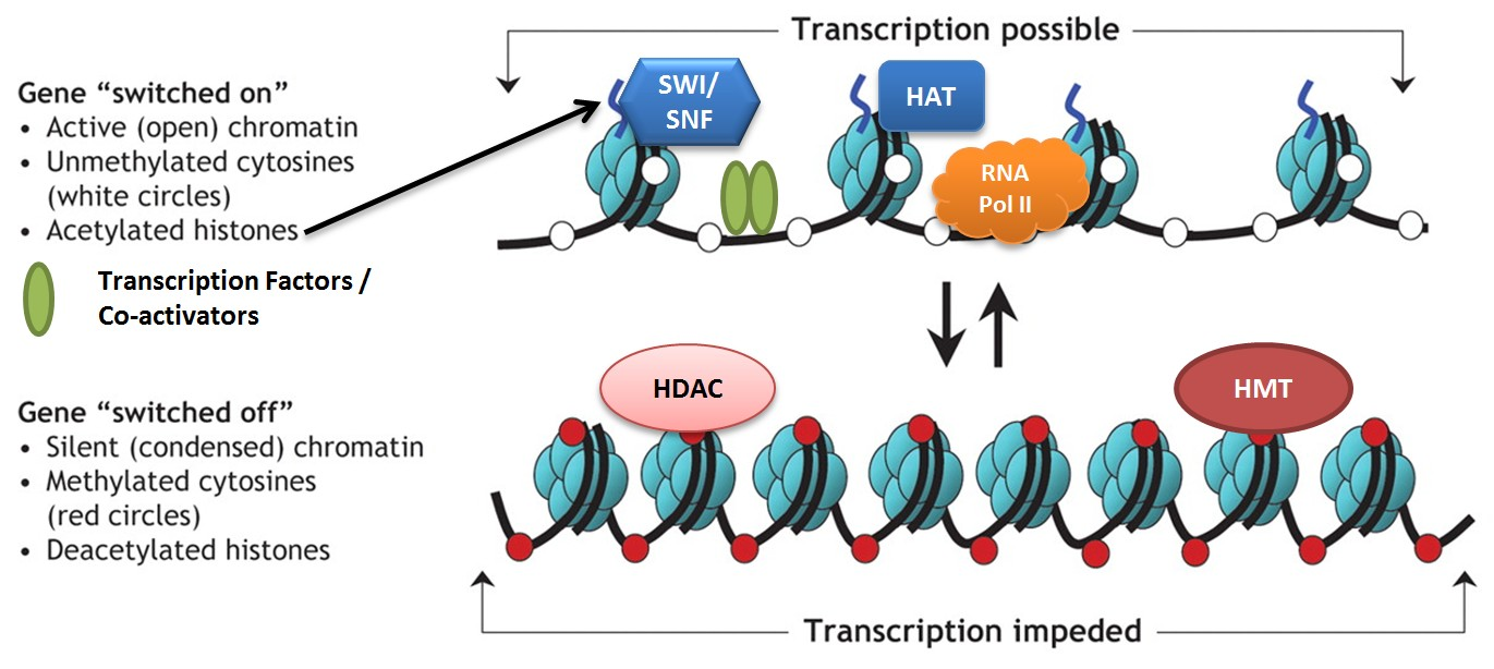 Enzymes like HAT, histone acetyl transferase, add acetyl groups to histones which loosens chromatin structure and changes gene expression