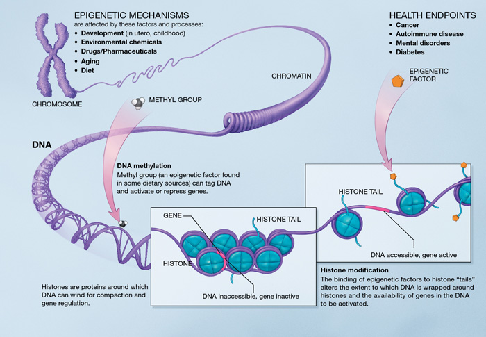 Epigenetic alterations like methylation and histone mondifications regulate DNA expression