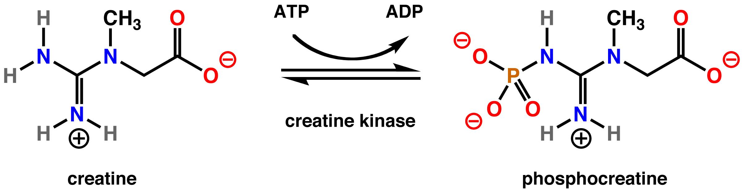 In humans creatine kinase converts creatine to phosphocreatine