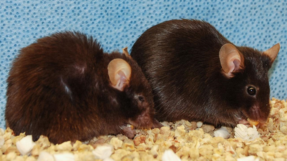 Removal of senescent cells has shown promising results in precious experiments and can prolong health and lifespan in mice. You can see the contrast here in mice of the same age, the mouse on the right has had its senescent cells removed. Credit: Jan van Deursen and Darren Baker