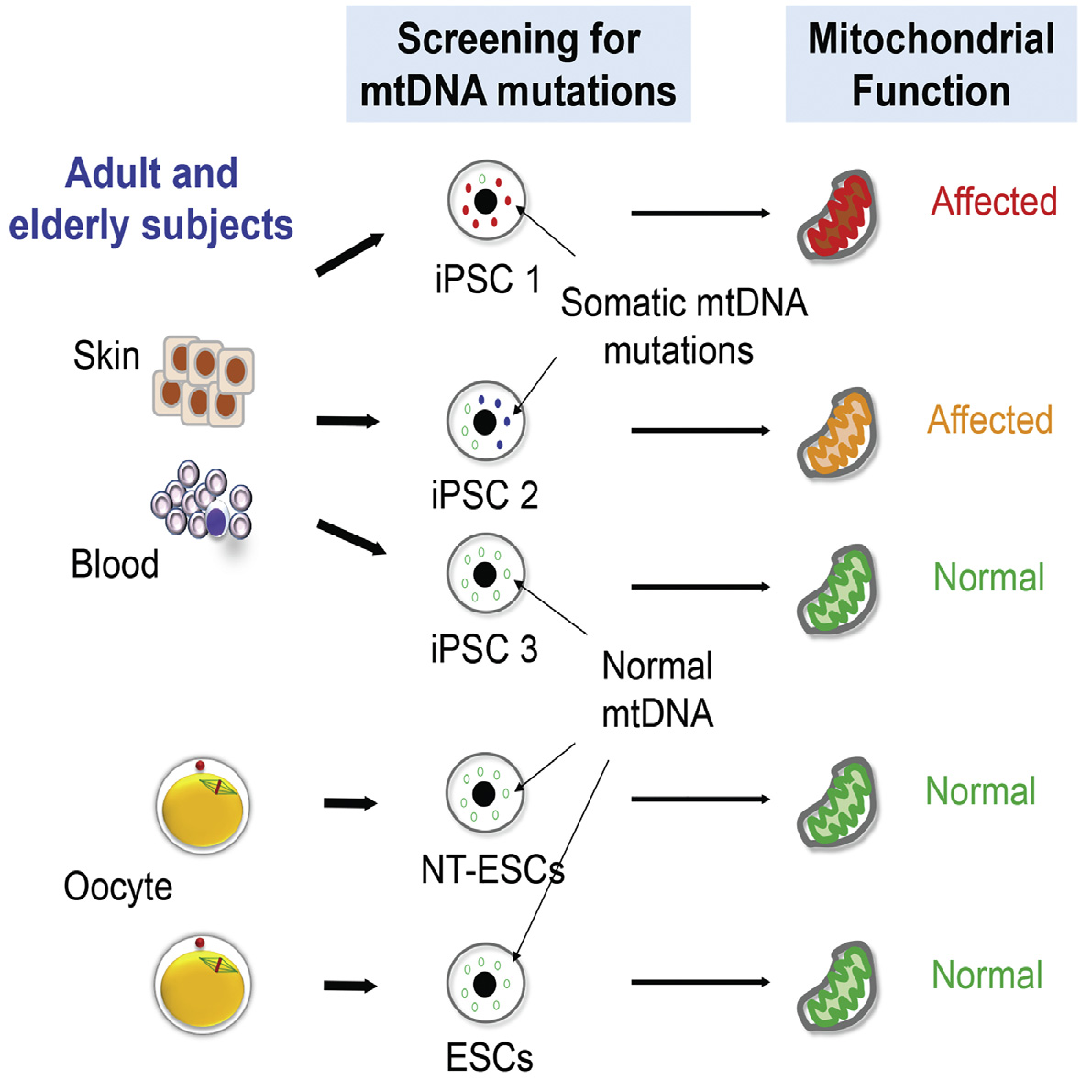 Stem cells derived from older patients contained more mitochondrial mutations. Credit: Mitalipov et al./Cell Stem Cell 2016