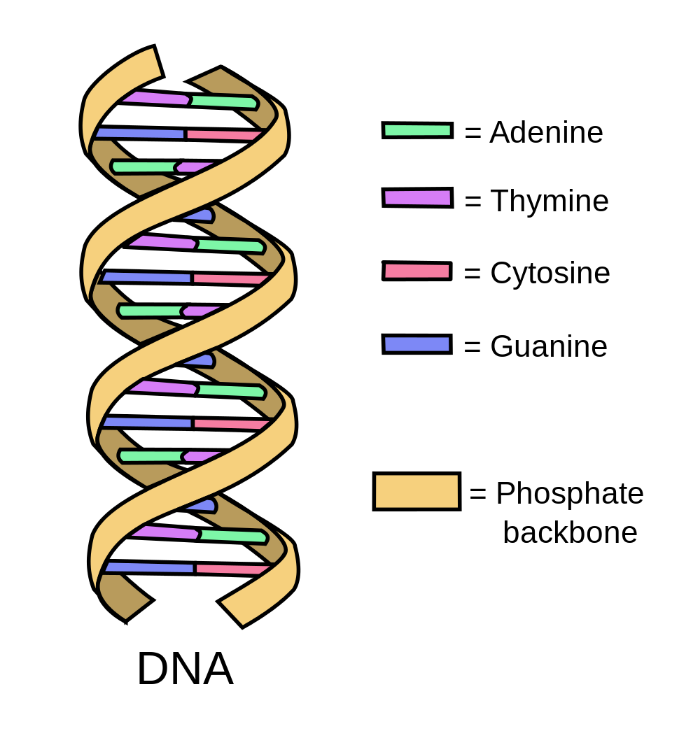 The new technology switches single nucleotides, shown above in colour