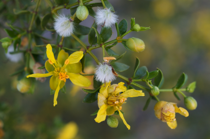 The creosote bush, source of nordihydroguaiaretic acid.