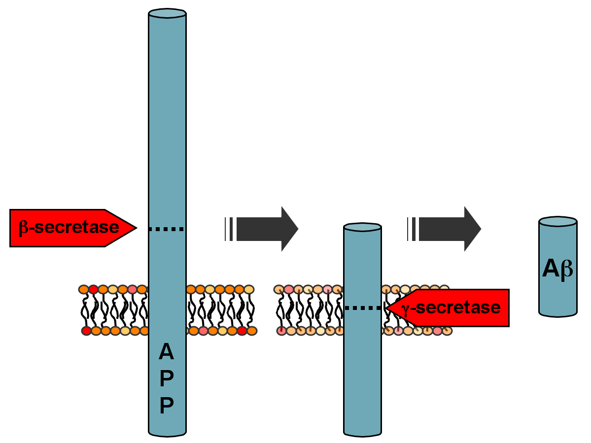 Beta-secretase acts on amyloid precursor protein (APP) to produce toxic amyloid beta (although it's still far from established exactly what drives Alzheimer's)