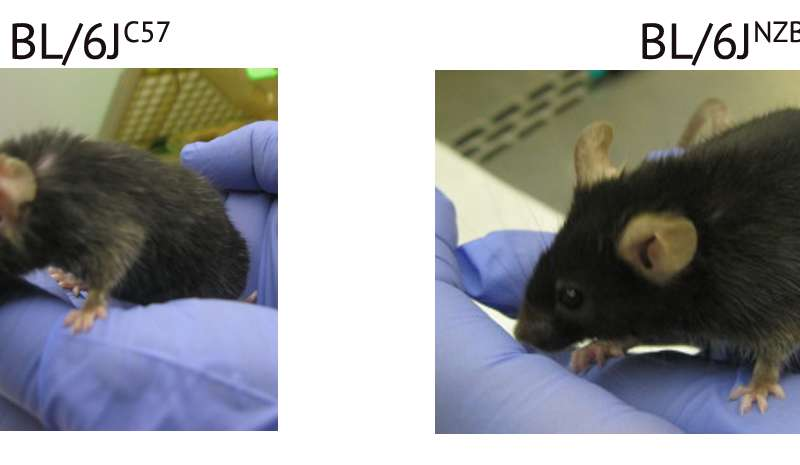 Two mice with a different mitochondrial gene variant. On the right the mouse has aged 'better', with better fur quality muscle mass and strength.Credit: CNIC
