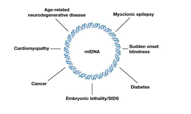Mitochondrial mutations are linked to a large number of diseases and conditions.Credit: Maulik Patel, Vanderbilt University