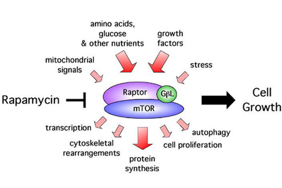 Rapamycin inhibits the mTOR pathway, impacting on growth and increasing cellular recycling.Credit: David Guertin