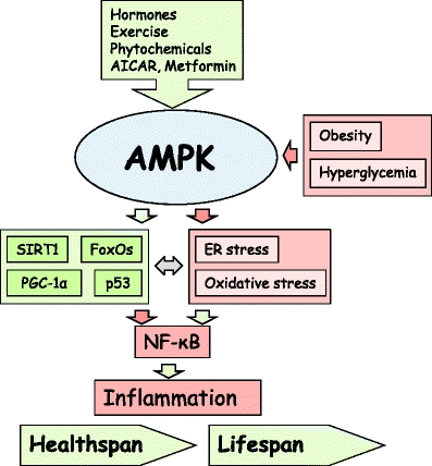 Metformin's Anti-Inflammatory Action Could Treat Cardiovascular