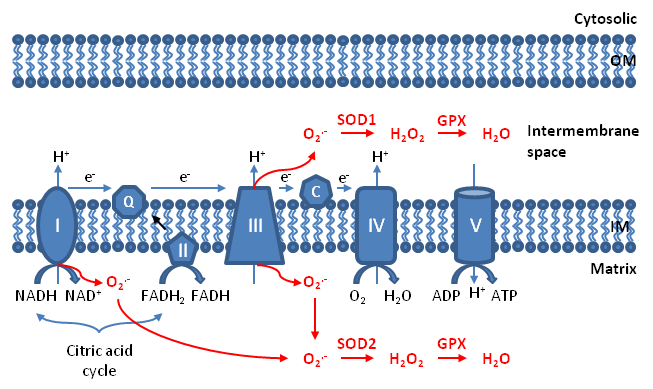 The electron transport chain within mitochondria