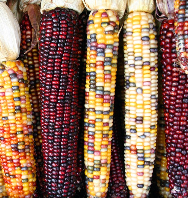 Transposons were first discovered in corn, where they cause varied expression of colour