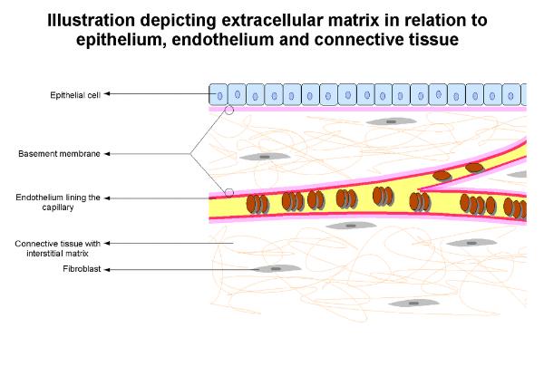 1024px-Extracellular_Matrix[1].png