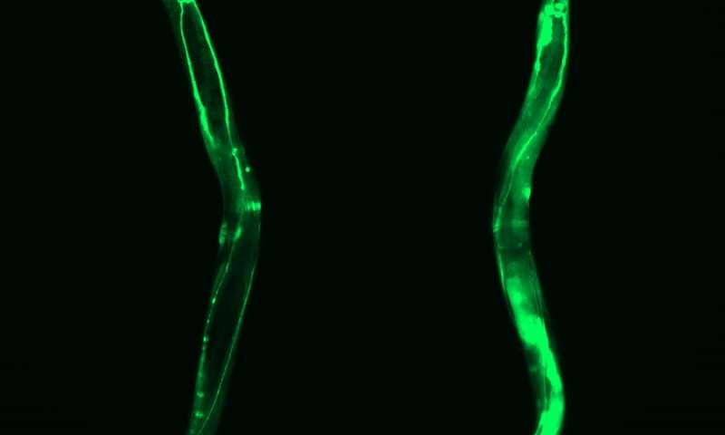 Overexpression of CCT8 shown here through GFP fluorescence. Credit: Alireza Noormohammadi and Amirabbas Khodakarami