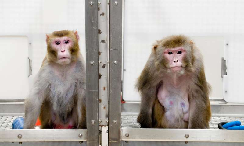 A 27-year-old monkey on the left subject to CR, contrasted with a 29-year-old monkey on the right allowed unrestricted food intake. Credit: Jeff Miller/University of Wisconsin-Madison