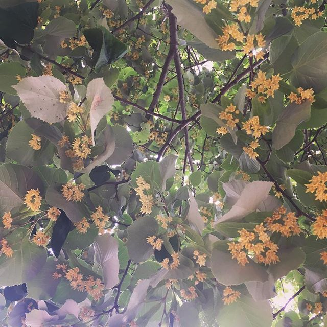 Linden blossoms wafting their perfume all over Brooklyn. #linden #unterdenlinden #brooklyn #prospectpark #perfume #summer
