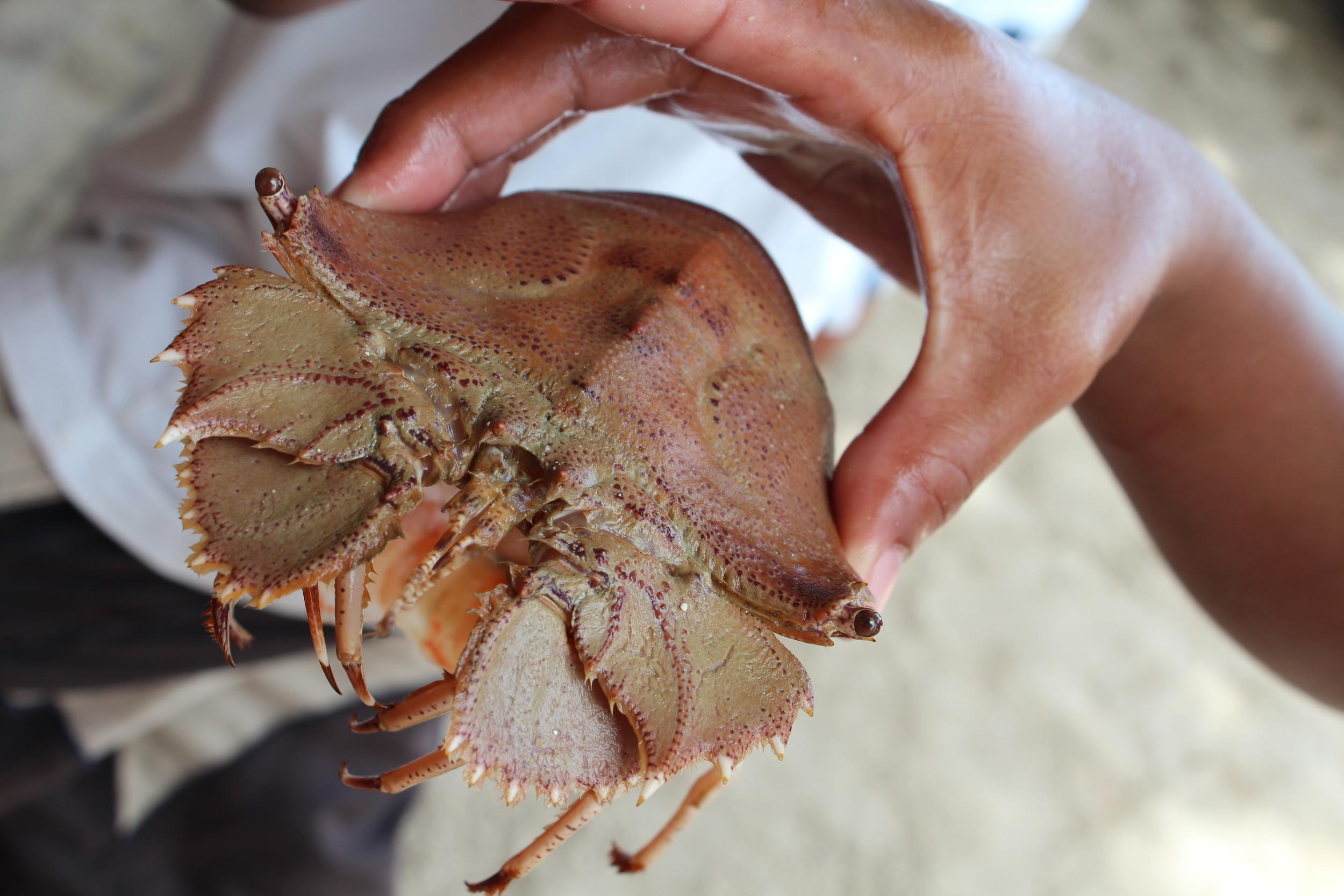 Slipper lobster, Palawan, Philippines.