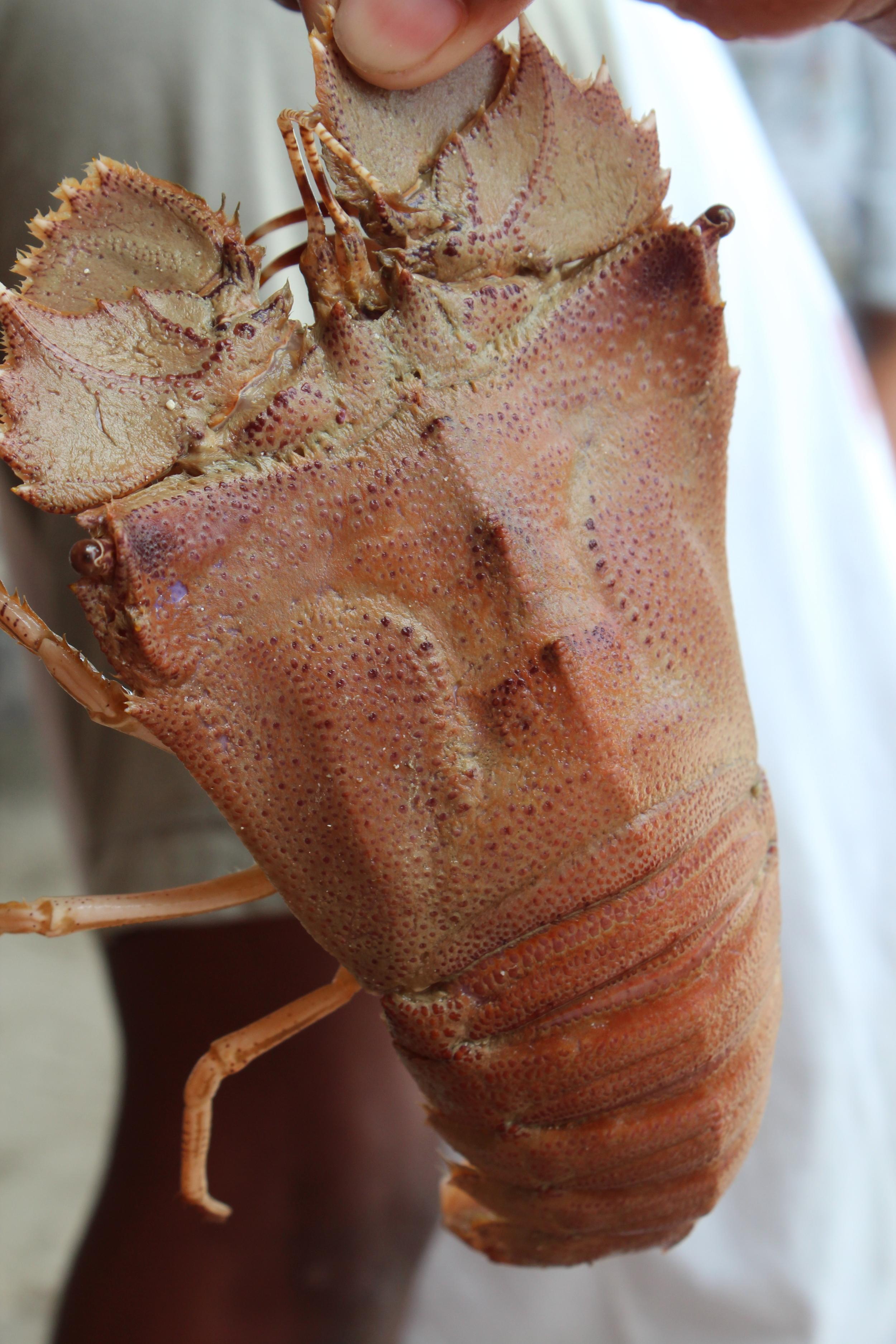 Slipper (tsinelas) lobster, Palawan, Philippines