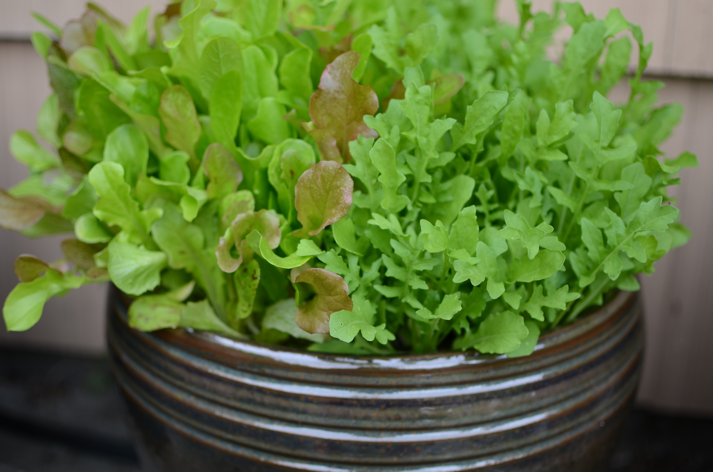 Mixed lettuce in a ceramic pot -  Photo by Seattle Urban Farm Company