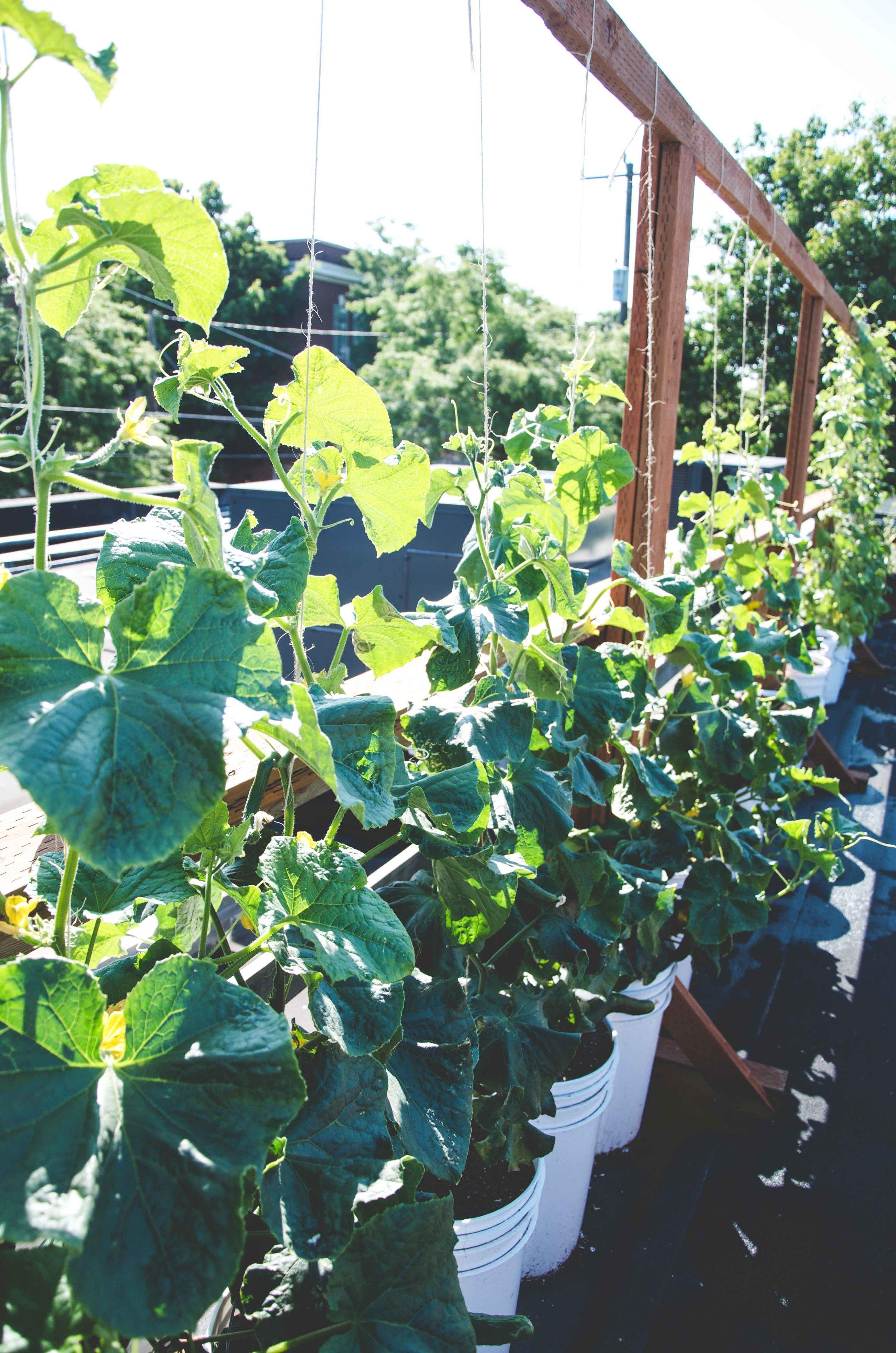 Cucumbers   -  Photo by Seattle Urban Farm Company