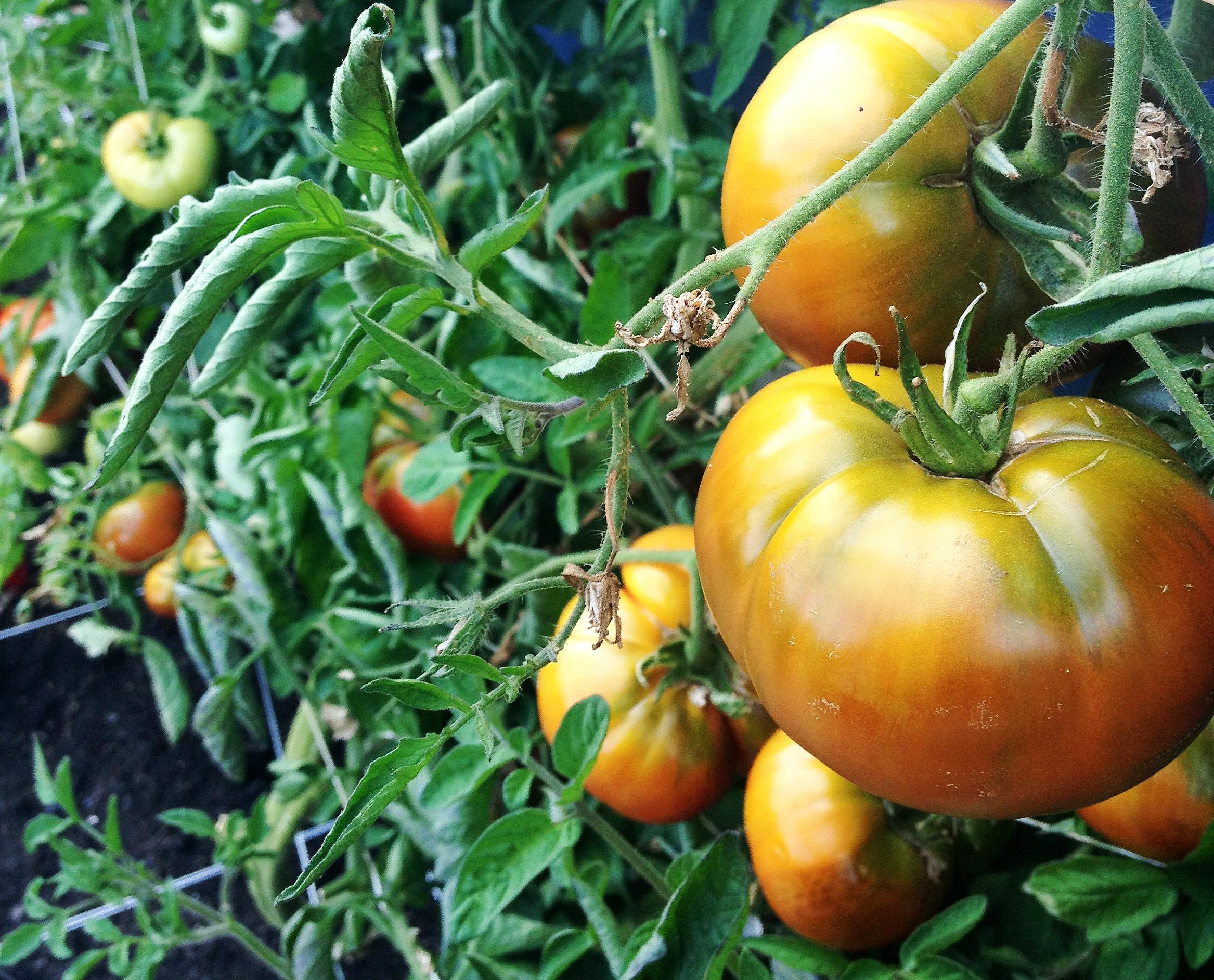 Cherokee Purple Tomatoes, unripened